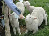 Feed sheep